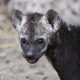 Spotted Hyena cub Stock Image