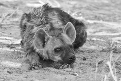 Spotted Hyena cub Stock Photos