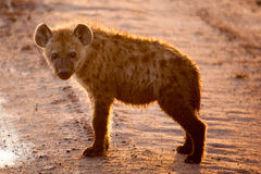 Spotted Hyena cub in early morning sun Royalty Free Stock Image