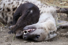 Spotted Hyena cub and its mother Royalty Free Stock Photos
