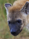 Spotted Hyena cub Stock Photography