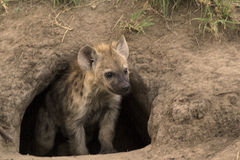 Spotted Hyena Cub. Peering out of its den in an unused anthill in its natural environment royalty free stock photography