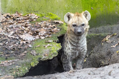 Spotted hyena cub royalty free stock images