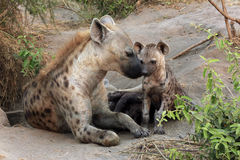 Spotted Hyena with Cubs. Spotted Hyena Crocuta crocuta with Cubs. Ishasha, Queen Elisabeth, Uganda royalty free stock photos