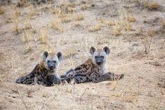 Spotted hyena cubs Royalty Free Stock Photography