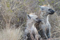 Spotted Hyena cubs. These  spotted hyena cubs  were   photographed in  the  Kruger National  Park in  South Africa Stock Photos