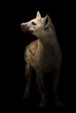 Spotted hyena in the dark Royalty Free Stock Photo