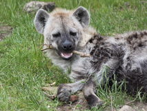 Spotted hyena detail. Spotted hyena (Crocuta crocuta) biting branch Royalty Free Stock Photos