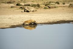Spotted hyena drinking water Royalty Free Stock Image