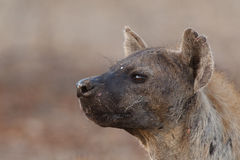 Spotted hyena face. A closeup of a spotted hyena face photographed in the south africa's kruger national park Stock Image