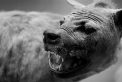 Spotted hyena Stock Photography