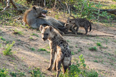 Spotted hyena family in the Kruger National Park, South Africa Stock Image