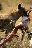 Spotted Hyena with Food Stock Photography