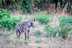 Spotted hyena in the grass. Royalty Free Stock Photography