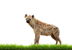 Spotted hyena with green grass isolated Royalty Free Stock Photography