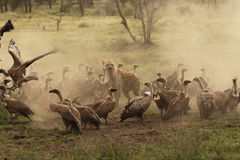 Spotted Hyena guards a kill whilst encircled by vultures in Ndutu. Spotted Hyena (Crocuta crocuta) guards a kill whilst encircled by vultures creating a dust Royalty Free Stock Photos