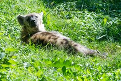 Spotted hyena resting under the sun. The spotted hyena is a highly social carnivore living in Sub-Saharan Africa Stock Photo