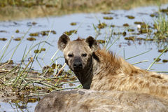 Spotted Hyena. The Spotted Hyena is a highly successful animal, being the most common large Carnivore in Africa Stock Image