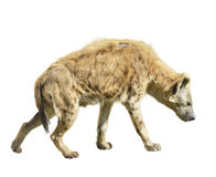 Spotted Hyena. Isolated On White Background Royalty Free Stock Images