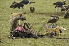 Free Spotted Hyena, Jackal, And Scavenging Birds On Carcass, Kenya Stock Photography - 185830462