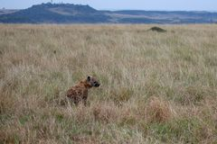 Spotted Hyena, Kenya, Africa stock photo