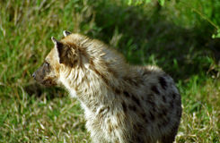 Spotted hyena, Kruger National Park, South African Republic Stock Image