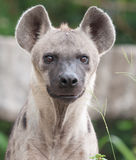 Spotted hyena. A spotted hyena looking at camera royalty free stock image