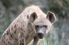 Spotted hyena. A spotted hyena looking at the photographer stock image