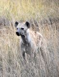 Spotted hyena on the lookout at Serengeti stock photography