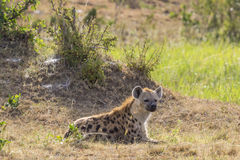 Spotted Hyena lying down in the grass Royalty Free Stock Images