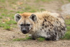 Spotted hyena. The spotted hyena lying on the grass Royalty Free Stock Image