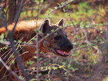 Spotted hyena. A menacing looking adult spotted hyena backlit by the early morning sun, behind green bokeh foliage, Madikwe Game Reserve, South Africa Royalty Free Stock Photos