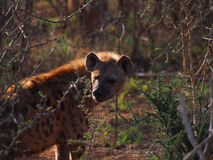 Spotted hyena. A menacing looking adult spotted hyena backlit by the early morning sun, Madikwe Game Reserve, South Africa Stock Photo