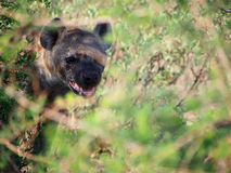Spotted hyena. A menacing looking adult spotted hyena behind green bokeh foliage, Madikwe Game Reserve, South Africa Stock Photo