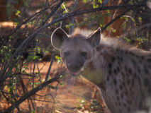 Spotted hyena. A menacing looking adult spotted hyena drools in the early morning light, behind bokeh foliage, Madikwe Game Reserve, South Africa Stock Photography