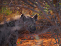 Spotted hyena. A menacing looking adult spotted hyena drools in the early morning light, behind bokeh foliage, Madikwe Game Reserve, South Africa Royalty Free Stock Images