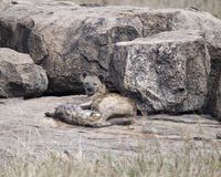 Spotted hyena mother and cub lying on a rock Stock Photos