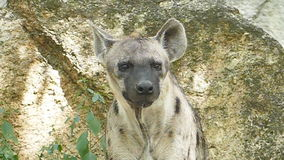 Spotted hyena in nature. stock video