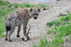 Spotted hyena on path Royalty Free Stock Photography