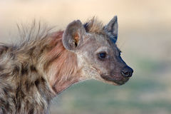 Spotted hyena portrait Stock Image