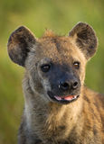 Spotted Hyena Portrait. Portrait of a Spotted Hyena taken in the Kruger National Park Stock Image