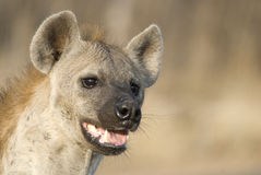 Spotted hyena portrait. Portrait of spottend hyena in morning light with slightly open mout Stock Image