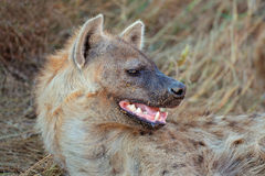 Spotted hyena portrait Royalty Free Stock Photography