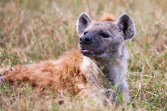 Spotted hyena portrait at first light  (Crocuta crocuta), Royalty Free Stock Photography