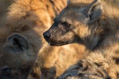 Spotted hyena Stock Photos