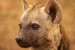 Spotted hyena. Portrait of young spotted hyena in Kruger National Park, South Africa Royalty Free Stock Image