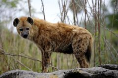 A Spotted Hyena royalty free stock images
