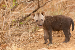 Spotted hyena pup. Social large (60-80kg) carnivore / scavenger; effective when hunting in a pack; shoulders heigher than rump; fawn-yellow, dark-spotted coat Stock Photo