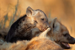Spotted hyena pup Stock Photography