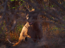 Spotted hyena with pup Stock Photo